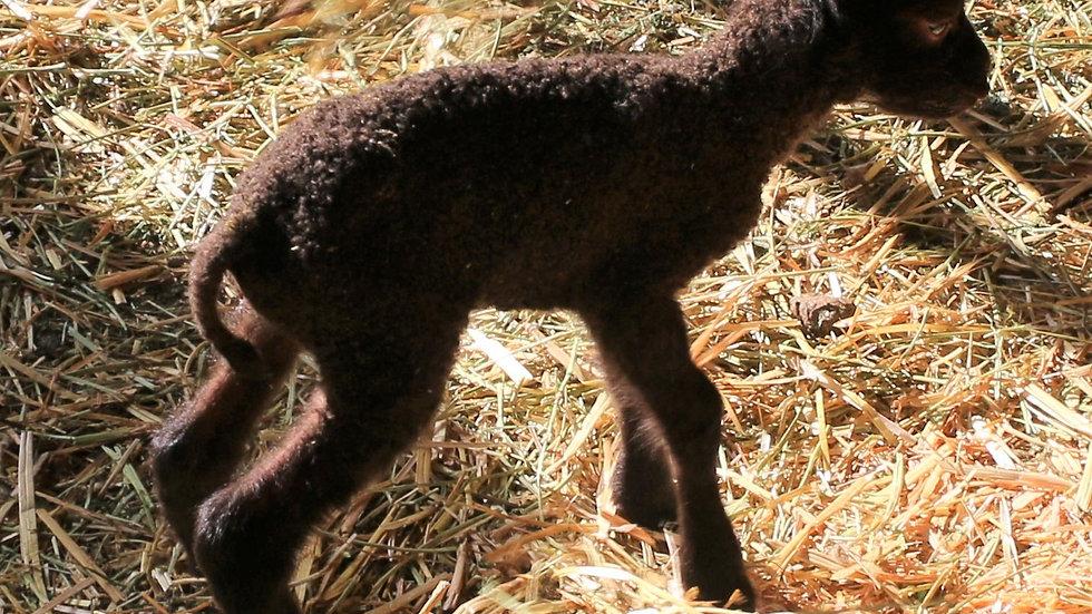 3L 21-868 Triplet brown ewe. Dam: 19-460. Sire: Duke