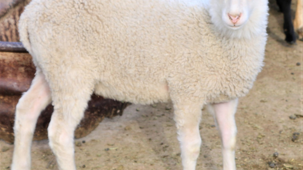 3L 21-913 Quint white ewe.  Dam: 13-253. Sire: Lucky One