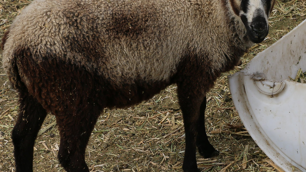 3L 20-667 QR Triplet Badger ewe.  Dam: 18-124. Sire: Thor RR