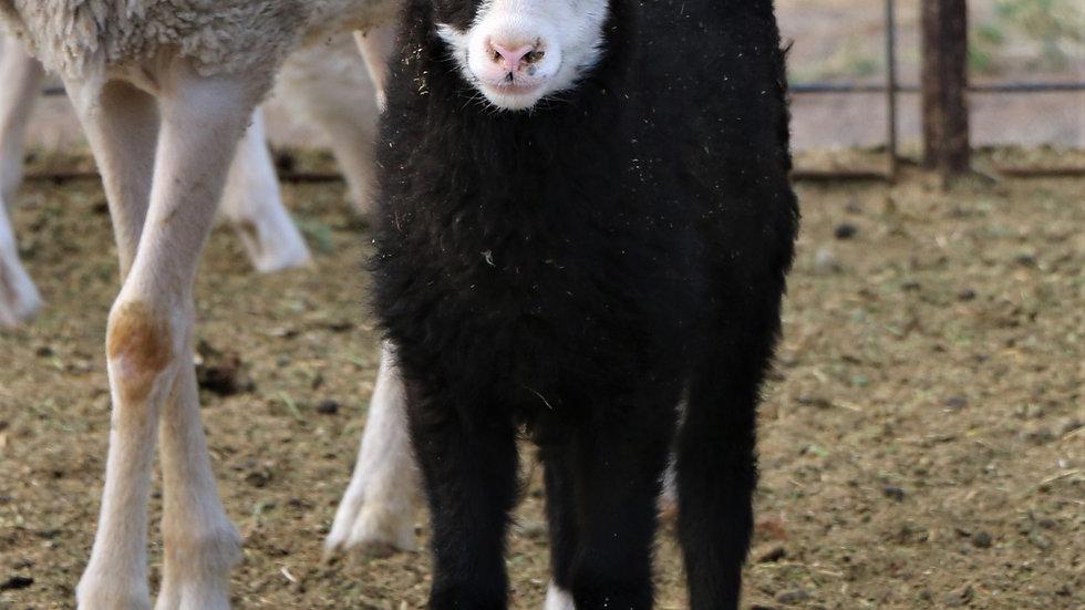 3L 21-023 Twin black ewe.  Dam: 20-679 QR.  Sire: Beretta QR