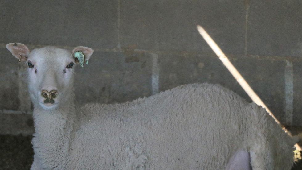 3L 19-470 QR triplet white ewe. 300% lifetime. Bred to King ArthurQR