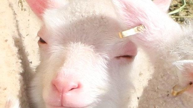 3L 21-802 Triplet white ewe. dam: 18-135     Sire: King Arthur QR