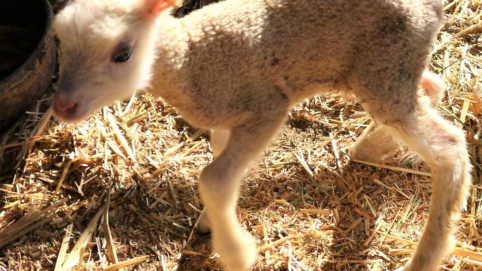 3L 21-904 Twin White ewe.  Dam: 18-226.  Sire: Octavius