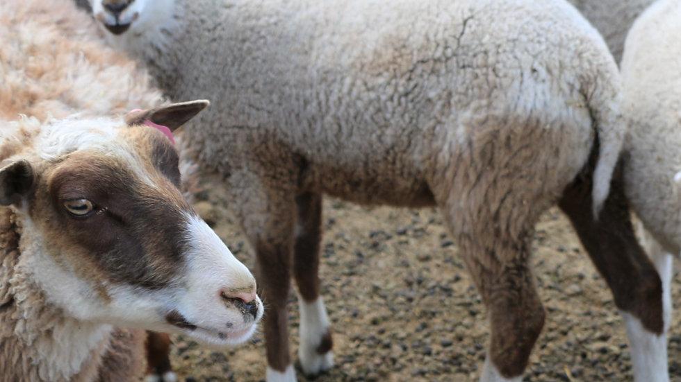 Jameson   3L 21-884, Single brown badger ram.