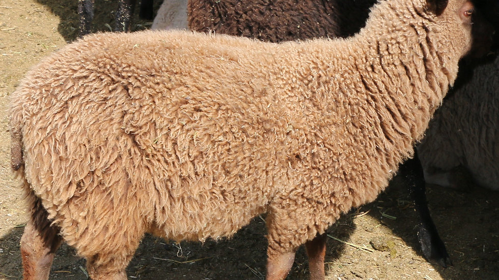 3L 20-665 twin brown ewe. Dam: 18-189. Sire: Duke