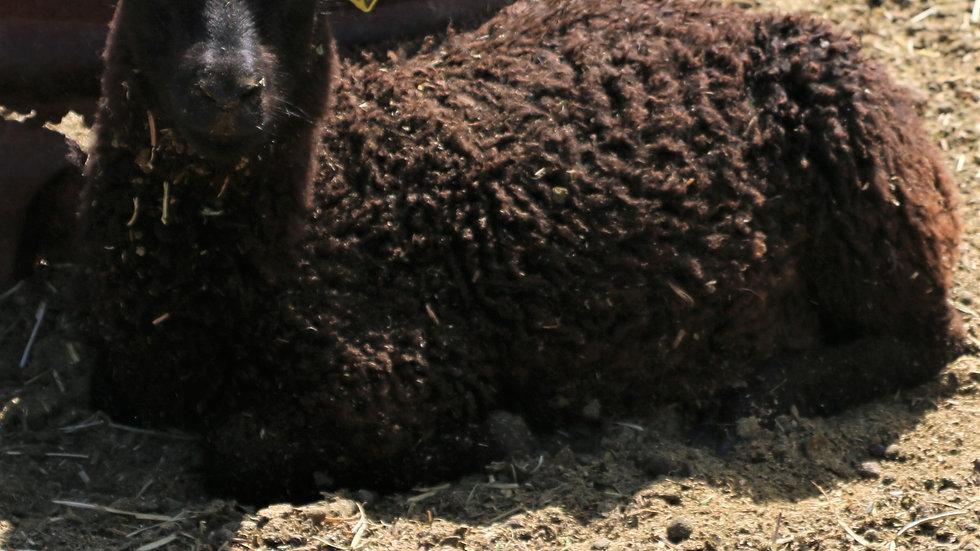 3L 20-624 Triplet Black Ram. Dam: 17-947 QR. Sire: Thor RR