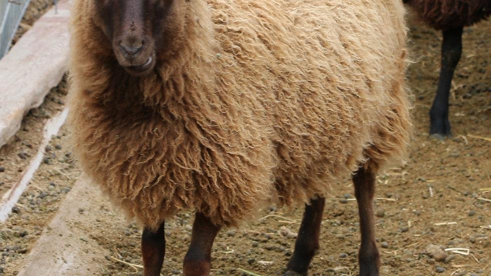 3L 20-660 RR Triplet brown ewe. Twins by Beretta QR