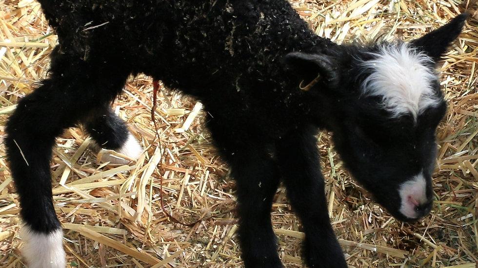 3L 21-878 Triplet Black ewe. Dam: 18-093 QR. Sire: Diablo