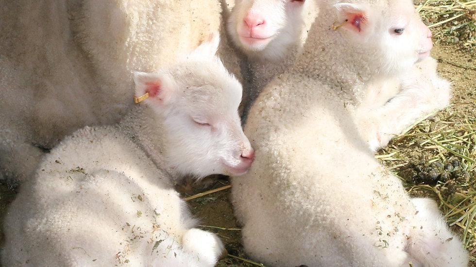 3L 21-803 Triplet white ewe. dam: 18-135     Sire: King Arthur QR