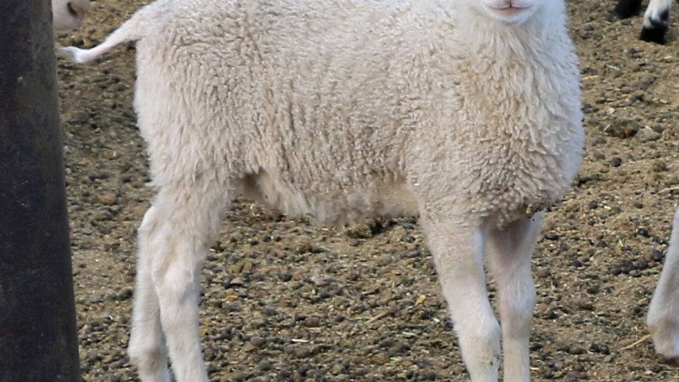 3L 21-852 Triplet White ram. Dam: 19-470 QR. Sire: King Arthur QR