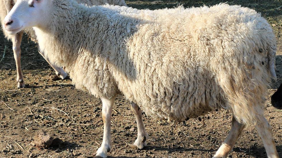 3L 16-834 QR Snow Bunny. Quad - white. 275% lifetime. Bred to King Arthur QR