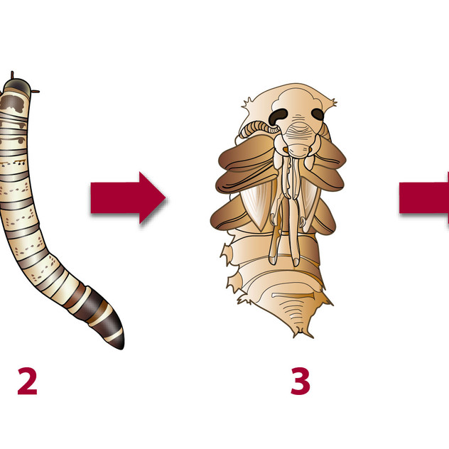Mealworm Lifecycle