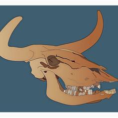 Auroch Skull