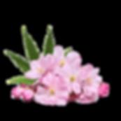cherry blossom hemp.png