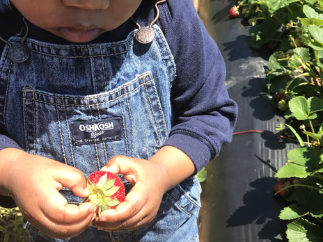 Strawberry Picking: Tips and Tricks