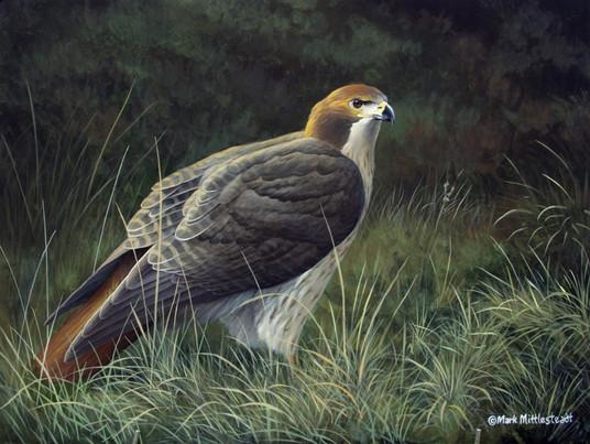 Redtail-Hawk.jpg