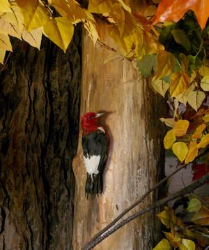 RedHeaded-Woodpecker.jpg