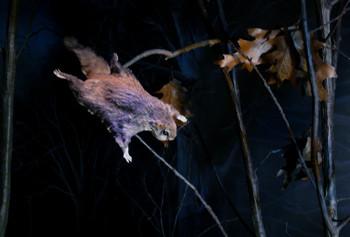 Flying-Squirrel-2.jpg