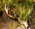 Elk-skull.jpg