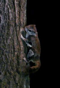 Flying-Squirrel.jpg