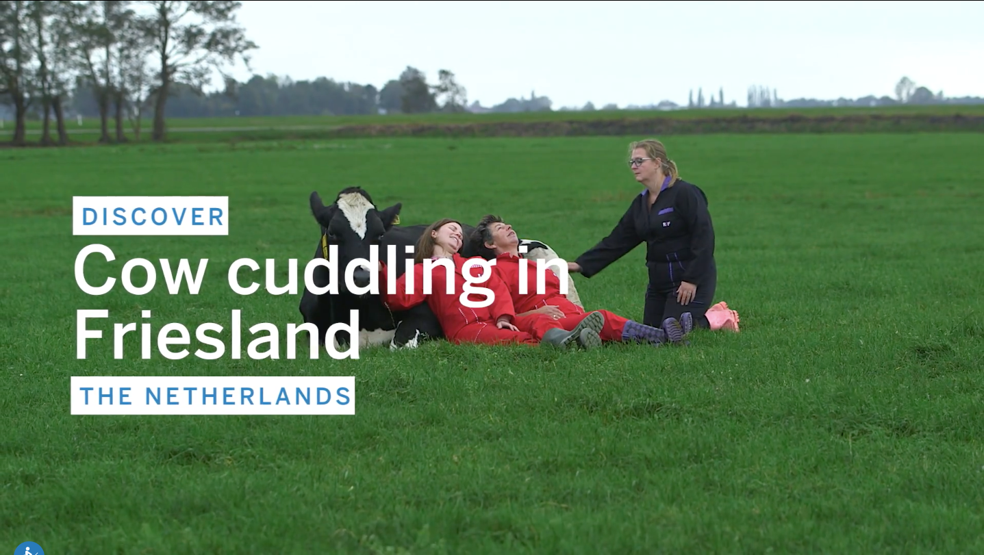 Cow cuddling The netherlands