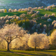 Rozkvitnutá čerešňa, Brdárka