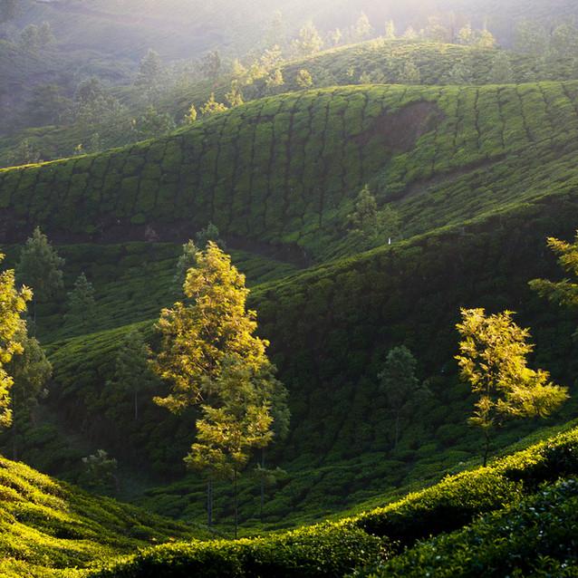 Línie čajovníkov