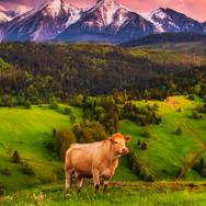 Osturňa, jar, Belianske Tatry, zamagurie, krava