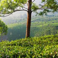 Zelené plantáže