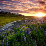Rozkvitnutý Island