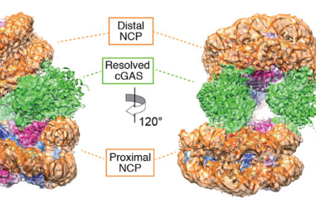 Structural basis for the inhibition of cGAS by nucleosomes