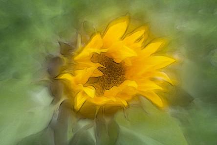 Sonnenblume (2).jpg