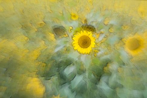 Sonnenblume (4).jpg