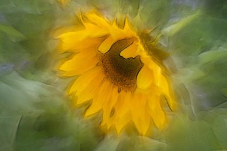 Sonnenblume (3).jpg