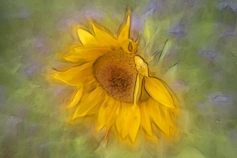Sonnenblume.jpg