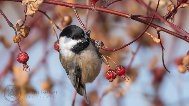 Black Capped Chickadee | 8x10