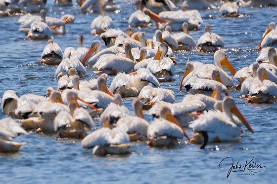Pelicans, Pelicans, Pelicans | 16x20