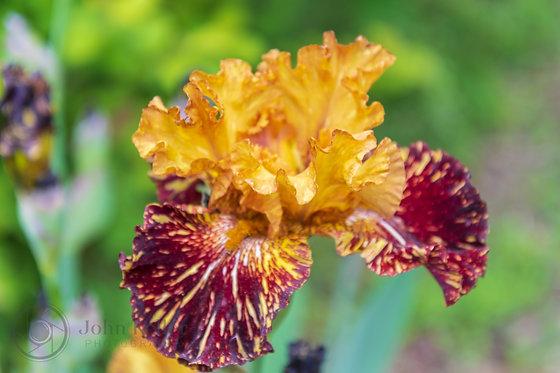 Iris | 4x6
