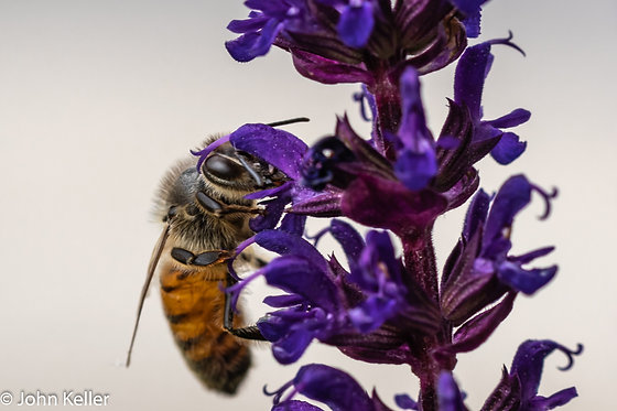 Bee pollinating Lavender | 8x10