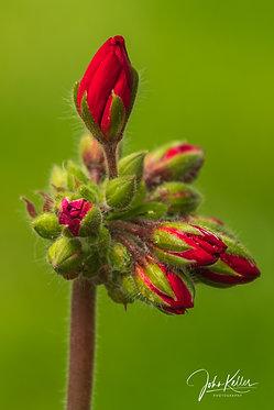 Budding Geranium | 5x7