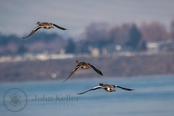 Ducks in Flight | 8x12