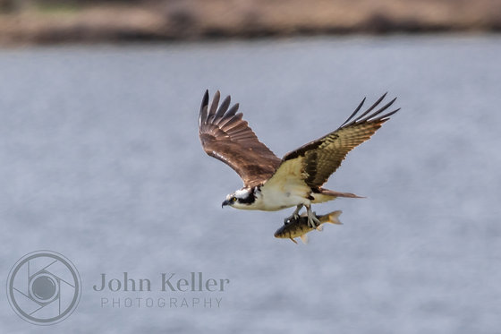 Osprey with Lunch | 10x15