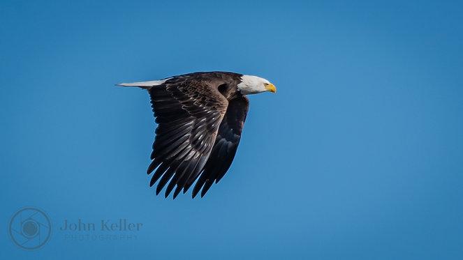Bald Eagle | 8x10