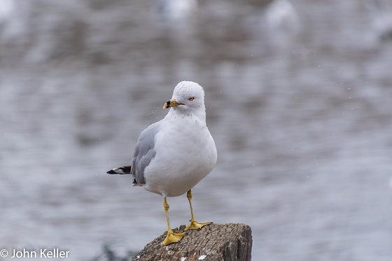 Annoyed Seagull | 16x20