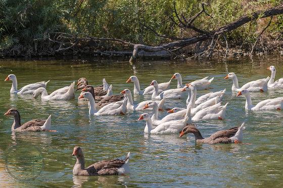 Flock of Geese | 11x14
