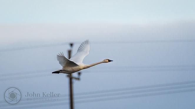 Tundra Swan | 12x18