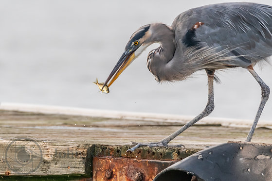 Blue Heron Snack Time | 10x15
