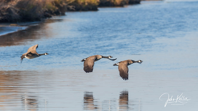 Canada Geese | 23x30