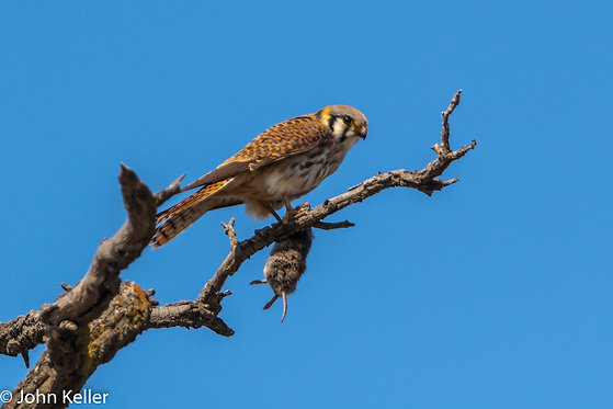 American Kestrel Falcon with lunch | 4x6
