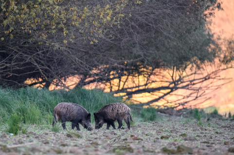 Wild boars at the bank of the Danube